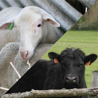 agneau et taureau angus