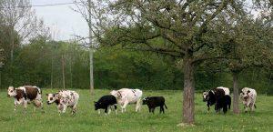 troupeau_de veaux et vaches